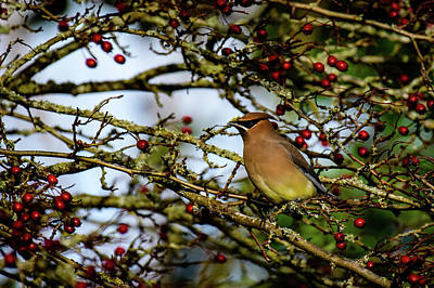 Photograph - Cedar Waxwing and Its Berries by Michael McAuliffe