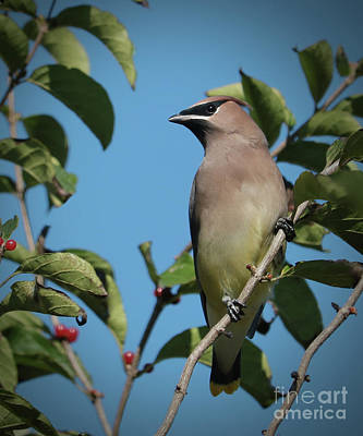 Photograph - Cedar Waxwing At Rest by Anita Oakley