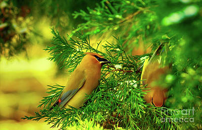 Digital Art - Cedar Waxwing Beauties 10 by Kim Pate