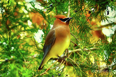 Digital Art - Cedar Waxwing Beauties 11 by Kim Pate