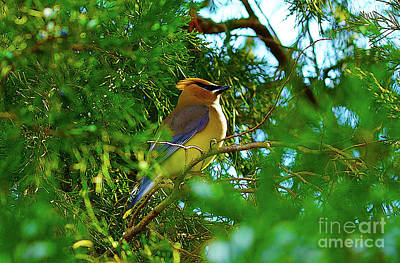 Digital Art - Cedar Waxwing Beauties 13 by Kim Pate