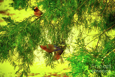 Digital Art - Cedar Waxwing Beauties 18 by Kim Pate
