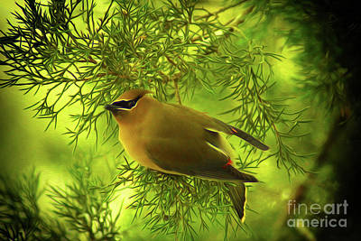 Digital Art - Cedar Waxwing Beauties 3 by Kim Pate