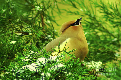 Digital Art - Cedar Waxwing Beauties 7 by Kim Pate
