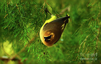 Digital Art - Cedar Waxwing Beauties 9 by Kim Pate