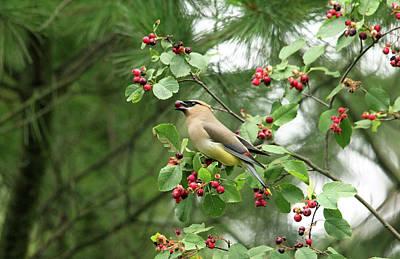 Photograph - Cedar Waxwing Berry Picking by Debbie Oppermann