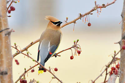 Cedar Waxwing Art Print by Betty LaRue