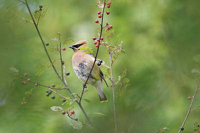 Photograph - Cedar Waxwing by Brook Burling