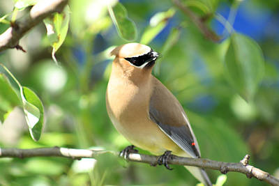 Photograph - Cedar Waxwing by Cathy  Beharriell
