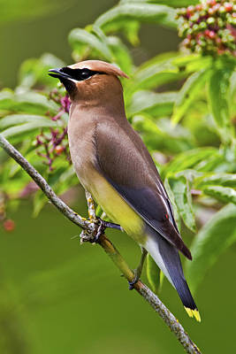 Photograph - Cedar Waxwing by Craig Strand