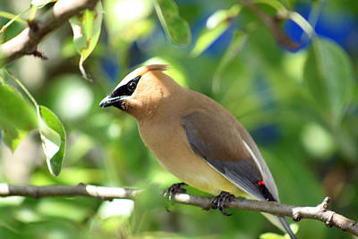Photograph - Cedar Waxwing Curiosity by Cathy Beharriell