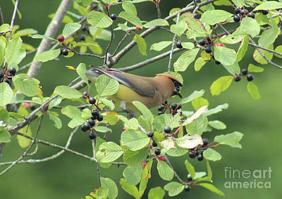 Cedar Waxing Wall Art - Photograph - Cedar Waxwing Eating Berries by Maili Page