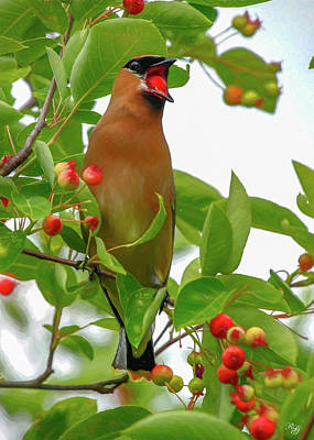 Photograph - Cedar Waxwing Eating Berry by Ron Grafe