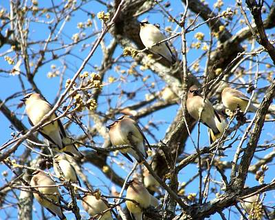 Photograph - Cedar Waxwing Family by Jai Johnson