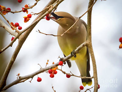 Photograph - Cedar Waxwing Feeding  by Ricky L Jones