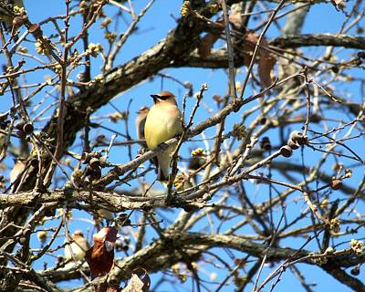 Photograph - Cedar Waxwing I by Jai Johnson