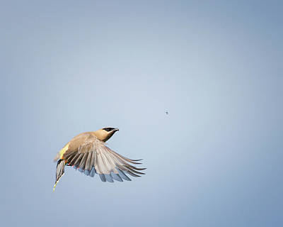 Photograph - Cedar Waxwing In Flight by Bill Wakeley