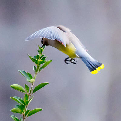 Photograph - Cedar Waxwing In Flight by Melinda Fawver