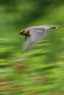 Digital Art - Cedar Waxwing In Flight by Ron Grafe