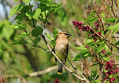 Photograph - Cedar Waxwing In Lilacs by Debbie Oppermann