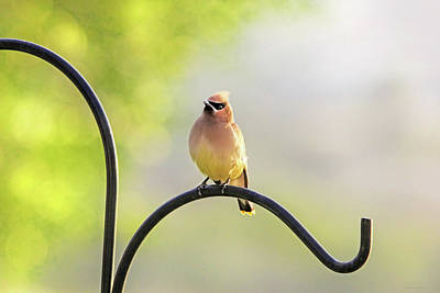 Photograph - Cedar Waxwing In The Morning Light by Jennie Marie Schell