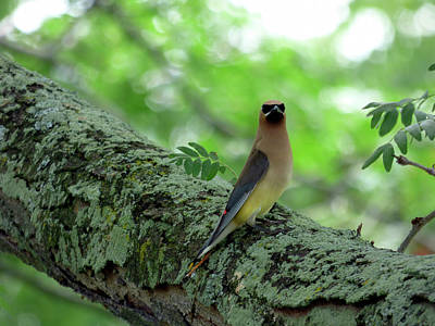 Photograph - Cedar Waxwing by Leslie Montgomery