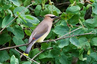 Photograph - Cedar Waxwing by Michael Peychich