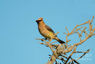 Cedar Waxwing Art Print by Mike Dawson