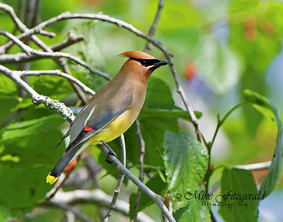 Photograph - Cedar Waxwing by Mike Fitzgerald