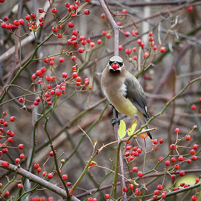 Cedar Waxwing Photograph - Cedar Waxwing Mouthfull Square by Bill Wakeley