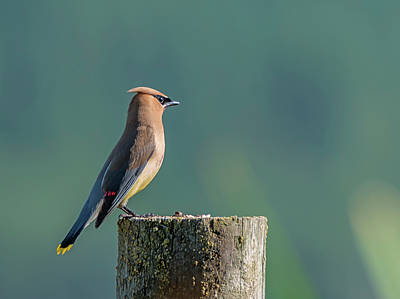 Photograph - Cedar Waxwing On A Post by Loree Johnson