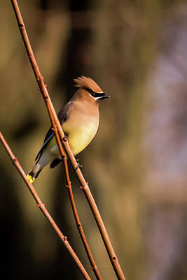Cedar Waxing Photograph - Cedar Waxwing On Branch by Terry DeLuco