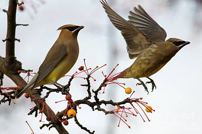 Photograph - Cedar Waxwing Pair by Mike Dawson