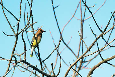 Photograph - Cedar Waxwing Perching by Edward Peterson