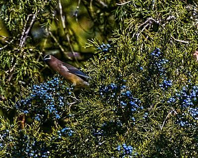 Photograph - Cedar Waxwing by Philip A Swiderski Jr