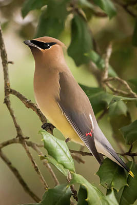 Cedar Waxing Photograph - Cedar Waxwing Portrait by Terry DeLuco