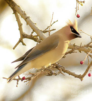 Birds Royalty-Free and Rights-Managed Images - Cedar Waxwing by Robert Frederick