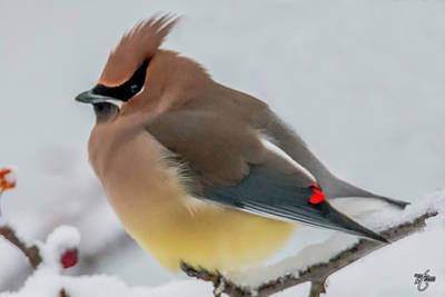 Photograph - Cedar Waxwing by Skip Tribby