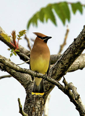 Cedar Waxing Photograph - Cedar Waxwing - Spring Visitor by Geraldine Scull