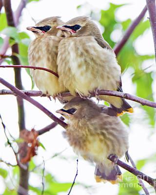 Photograph - Cedar Waxwing Triplets by Lloyd Alexander