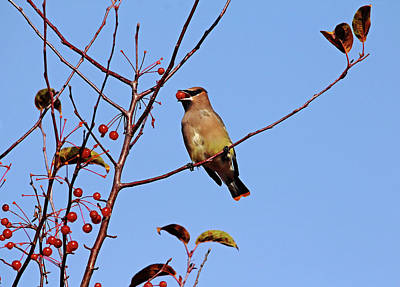 Thorn Tail Photograph - Cedar Waxwing With Red Fruit by Debbie Oppermann
