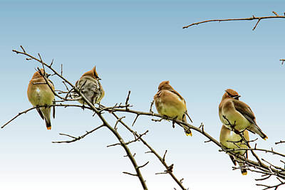 Cedar Waxing Photograph - Cedar Waxwings by Geraldine Scull