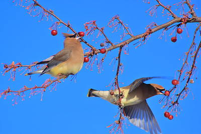 Photograph - Cedar Waxwings In Fruit Tree by John Burk