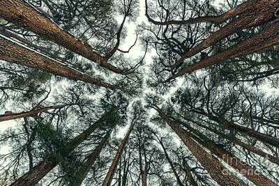 Photograph - Cedars Trees Forest Background by Anna Om