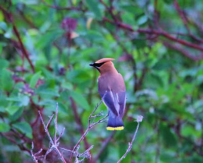 Photograph - Ceder Waxwing by Jeff Swan