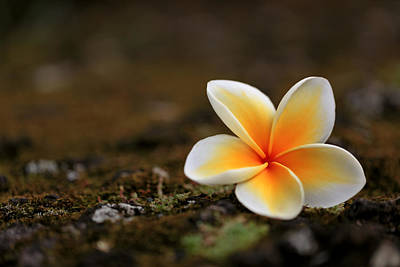 Photograph - Celadine Plumeria Rock by Susan Rissi Tregoning