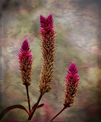 Photograph - Celosia by Judy Vincent