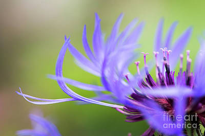 Centaurea Montana Art Print by Tim Gainey