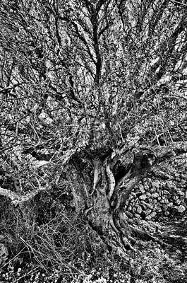 Photograph - Centennial Tree Spreading Branches by Pedro Cardona