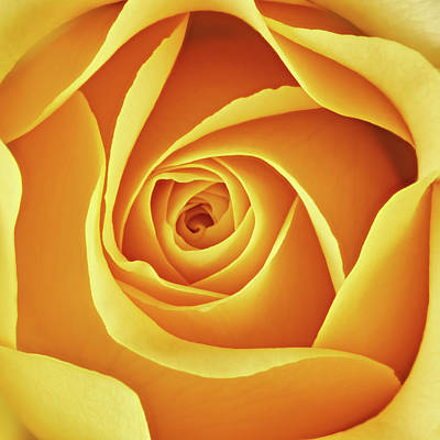 Rosaceae Photograph - Center Of A Yellow Rose by Jim Hughes